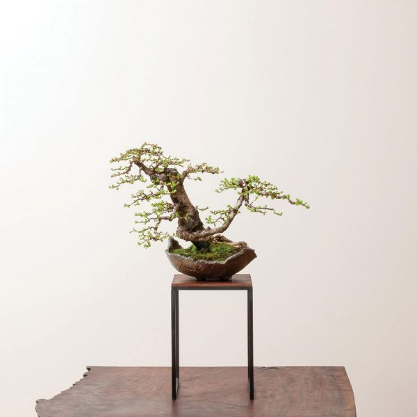 Ryan-Neil-Bonsai